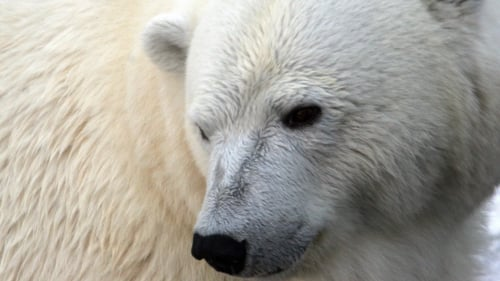 Polar bears - New study
