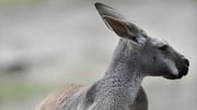 Australia has 50-60 million kangaroos