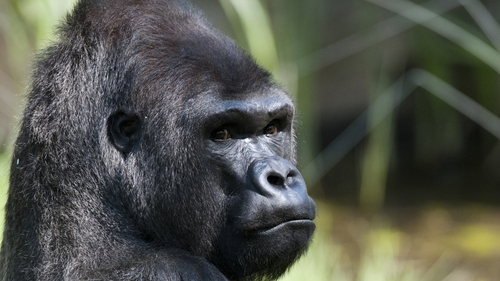 Great Ape - Ugandapithecus Major is a remote cousin