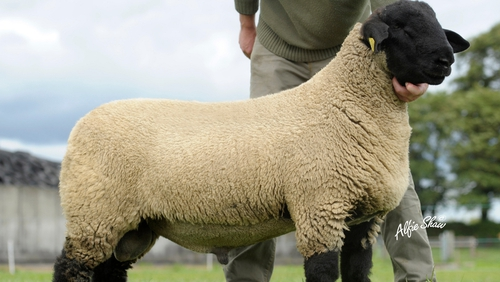 Suffolk sheep - Sold in Scotland for over €108,000