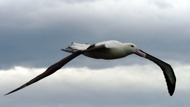Albatross - If it flew, the giant bird would have had a greater wingspan than the albatross