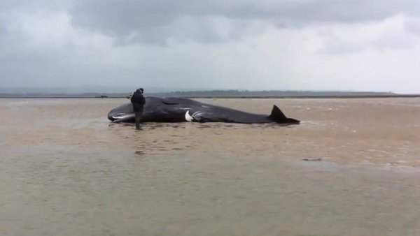 Same whale came close to stranding on the east side of the Hook Peninsula last night