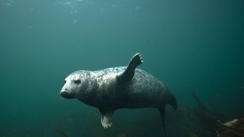 Seals are protected under national and European law