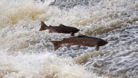 'Anglers dream' as salmon stocks leap in Irish rivers