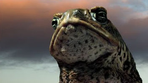 One Cane toad from 1.5 billion