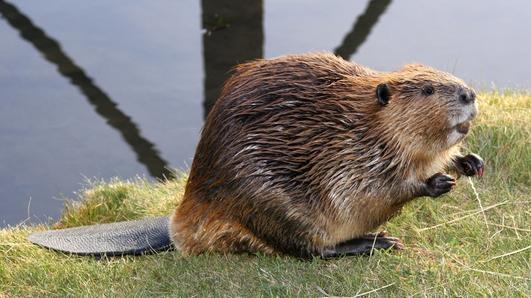 Scottish Beavers