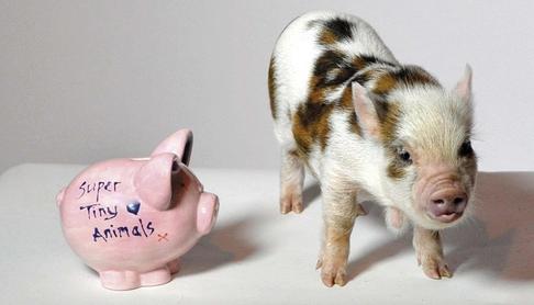 This little piggy's saving for Fur TV