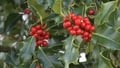 Shortage of berried holly