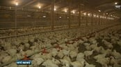 Six One News: Hens slaughtered as cages fail EU rules