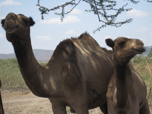 Camels at Kachoda