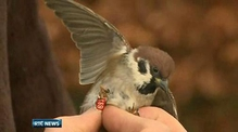 Six One News: Tree sparrow numbers flying high