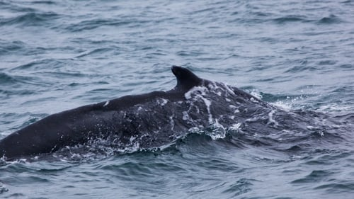 The humpback whale is a new sighting in Irish waters.