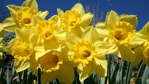 """""""Other plants showed early seasonal change indicating an early arrival for spring, such as daffodils flowering in January"""""""