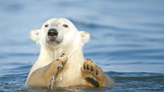 Polar Bear Action Plan