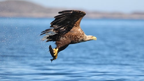 White-tailed sea eagles are a protected species under law