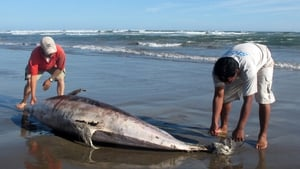 At least 900 dolphins have died in Peru