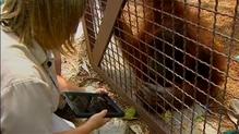 Orangutans using iPads in Florida zoo