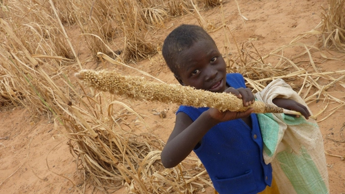A young boy from Niger holds a millet grape eaten by locusts