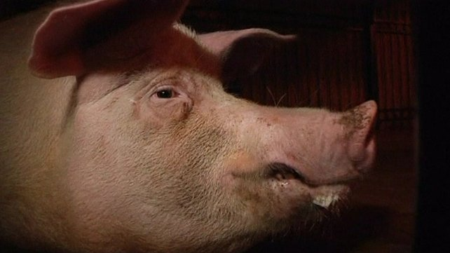 Pigs are shot by marksmen to replicate battlefield wounds