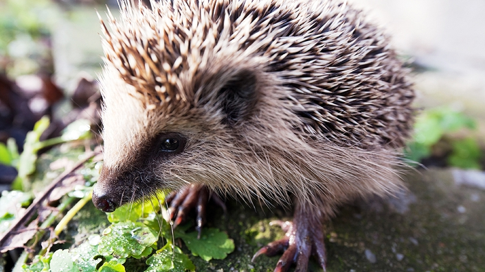 App Article: Hedgehogs (by Richard Collins)