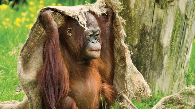 Borneo is home to 90% of the world's orang-utan population