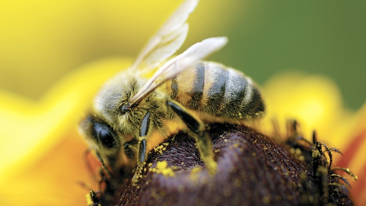 The death of the Irish bee