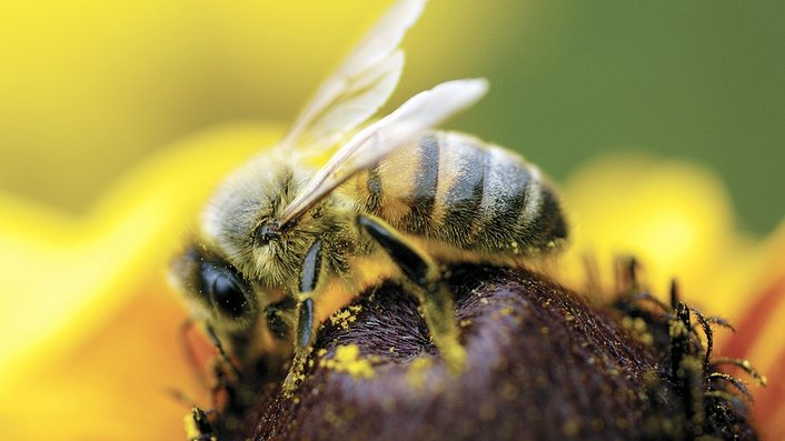 The death of the Irish bee