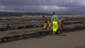 The IFA estimates that 250 people are currently employed full-time in oyster farming in Donegal