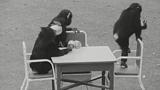 Chimpanzee Tea Party from the programme 'Zoofari' broadcast on 6 September 1965.