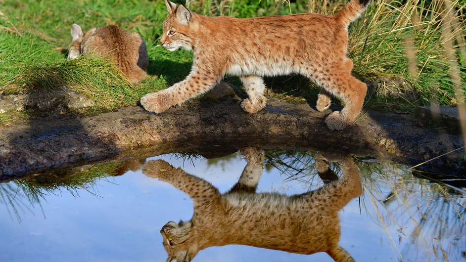 Northern Lynx kittens explore their enclosure at the Highland Wildlife park in Kingussie, Scotland