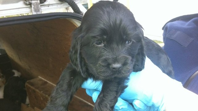 Puppies are being cared for by the DSPCA