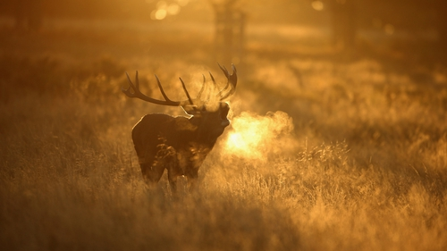 A Red Deer stag roars in the early morning light in Richmond Park in London