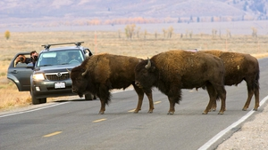 Tourists take pictures as buffalo cross a road in the Grand Teton National Park in northwestern Wyoming