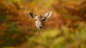 A young deer hides amongst the autumnal bracken at the National Trust's Dunham Massey Park in Knutsford, England