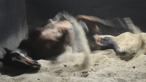 Glencadam Gold enjoys a roll in the sand after trackwork at Flemington Racecourse