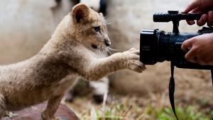 Bantu, a lion cub born in Cali zoo, Colombia
