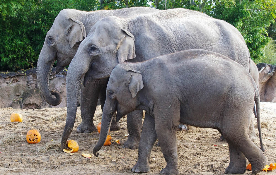 Elephants at Dublin Zoo's Kaziranga Forest Trail get into the Halloween spirt