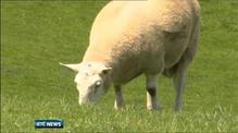 Schmallenberg Virus confirmed in Ireland