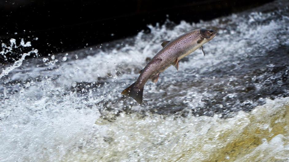 Salmon return upstream to spawn in the River Etterick in Scotland
