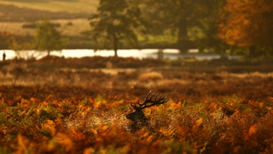 A red deer stag looks for food in a bracken thicket after sunrise in Richmond Park in London
