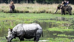 Tourists riding on elephants look at a rhinoceros at the Indian Pobitora wildlife sanctuary