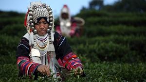 An Akha Hilltribe woman picks Oolong #17 tea leaves during a harvest at the Suwirun Tea farm in the hills outside Chiang Rai, Thailand