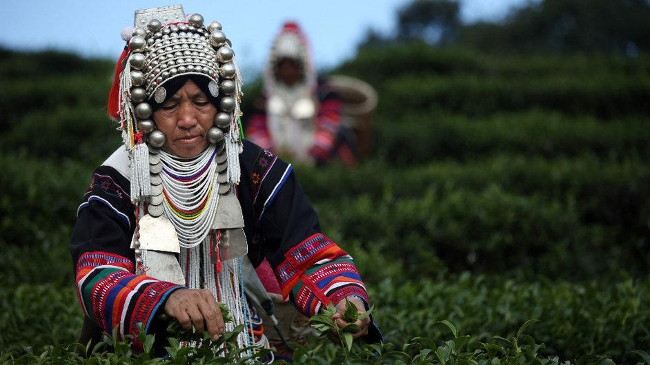 An Akha Hilltribe woman picks Oolong #17 tea leaves during a harvest at the Suwirun Tea farm in the hills outside Chiang Rai, Thailand