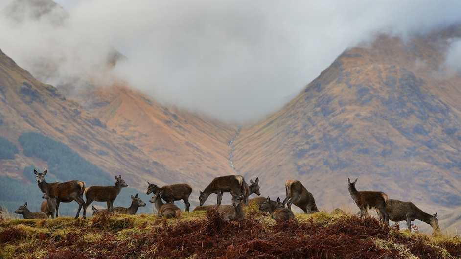 Red deer hinds graze as the rutting season draws to a close in Glen Etive in Scotland
