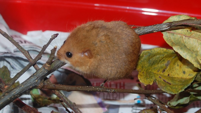 The Dormice Of Kildare