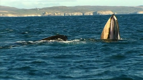 Humpback whales feeding off Balitmore Harbour in west Cork