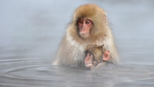 Japanese macaque, or 'snow monkeys', take a hot spring bath at the Jigokudani Monkey Park in Yamanouchi, Japan