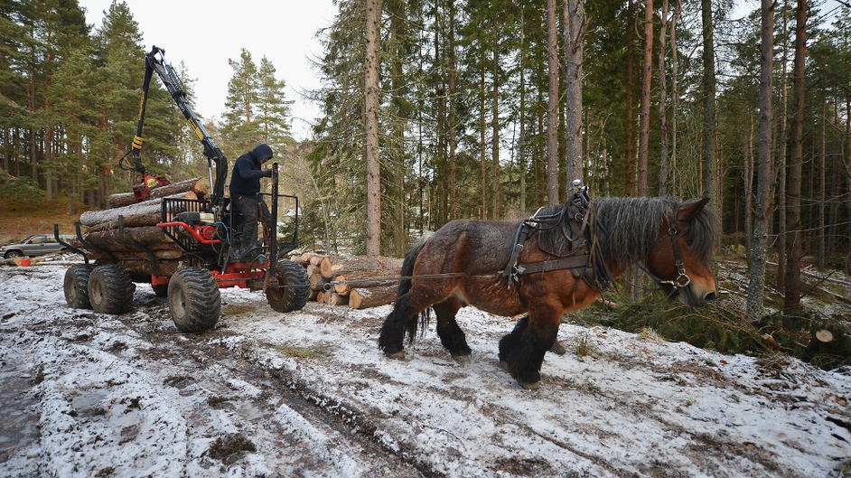 Simon Lenihan, a full time commercial horse logger, removes a Scots Pine tree from the Balmoral Estate with Sultan De Le Campagne