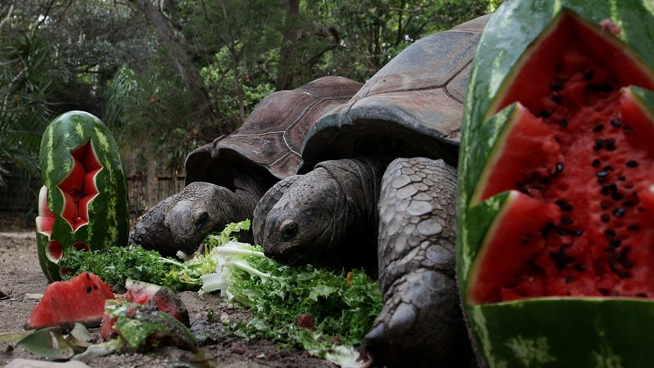 Tortoises at Sydney's Taronga Zoo enjoy an early festive treat