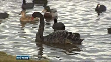 Crowds flock to Belfast park to see Australian swan